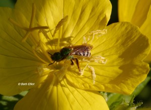 Native Bee on Sundrops (Oenothera fruticosa).  Barb's Yard 6/16/2014.  © Barb Elliot