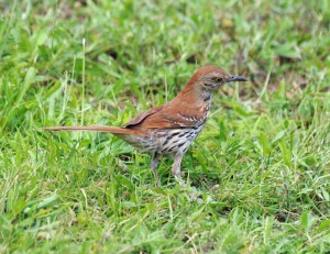 A Brown Thrasher feeds on the ground.  Photo by Howard Eskin.  Click to enlarge.