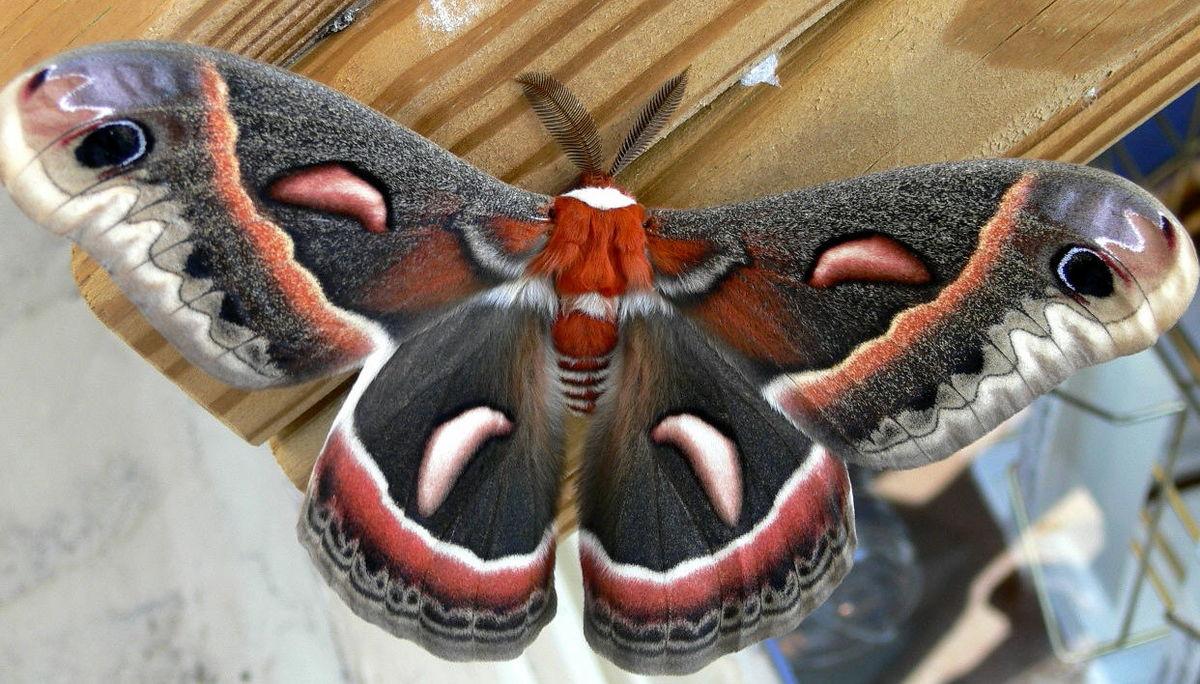 Cecropia-Moth-Creative-Commons.jpg