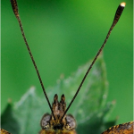Butterflies antennae tips are club-like.  Photo from National Moth Week presentation.