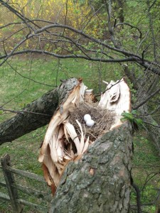 My arborist found this Mourning Dove nest while removing winter-damaged limbs. Photo by Mark Masciangelo.