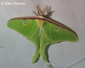 Luna Moth.  © Edie Parnum. Click to enlarge.