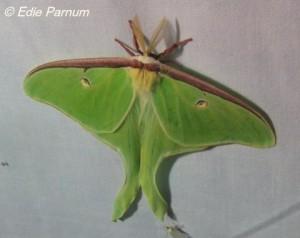 Luna Moth.  © Edie Parnum. Click to enlarge.
