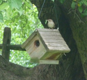 A House Wren about to feed a caterpillar to its young in Edie's backyard.  Photo by Edie Parnum.