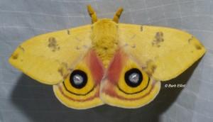 "IO Moth revealing its""eyes"" for startling predators.  © Barb Elliot.  Click to enlarge."