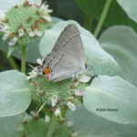 Gray Hairstreak, a pollinator of Short-toothedd Mountain Mint, a Backyards for Nature Prime Plant.  © Edie Parnum