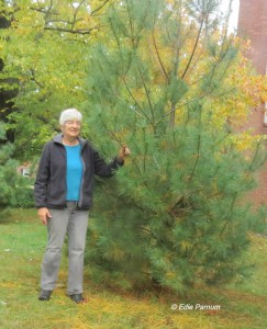 The sapling of this 10-foot White Pine was 6 inches tall when transplanted five years ago.