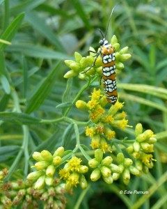 Lance-leafed Goldenrod and other goldenrods are easy to tansplant and attract many pollinators, including Ailanthus Webworm Moth.  © Edie Parnum