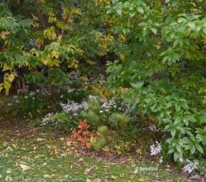 A layered landscape,including Virginia Creeper as a ground cover, asters, Fringe Tree (an understory tree), and a large Common Hackberry tree.
