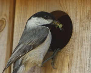 Chickadees feed their nestlings exclusively insects and spiders gleaned from foliage and tree bark.  Photo courtesy of and @ Steve Creek, Wildlife Photographer.