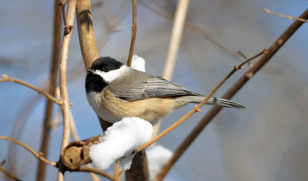 Carolina Chickadee fluffs its feathers and shivers to retain body heat.  Photo  Carolina Chickadee fluffs its feathers and shivers to retain body heat. Photo © Howard Eskin.
