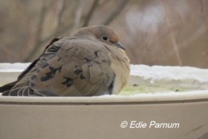 A Mourning Dove fluffs its feathers to keep warm. Chickadees and other birds will use a heated bird bath for drinking and bathing when other water is frozen.  Photo © Edie Parnum.