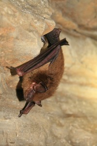 A healthy hibernating Big Brown Bat., Wikimedia Commons Image by Ann Froschauer, USFWS.  Click to enlarge.