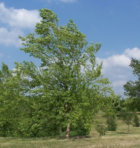 River Birch (Betula nigra) is an attractive medium-sized tree.   Wikimedia image - Minnesota Landscape Arboretum