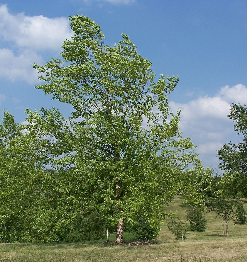 Betula nigra for Small to medium trees for garden