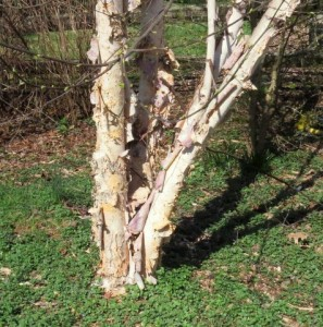 River Birch tree trunks have attractive exfoliating bark.  Click to enlarge.