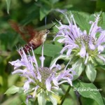 Wild Bergamot attracts a Hummingbird Clearwing Moth. © Edie Parnum.  Click to enlarge.