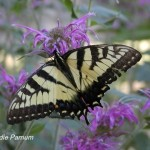 Eastern Tiger Swallowtail nectaring on Wild Bergamot.  © Edie Parnum.  Click to enlarge.