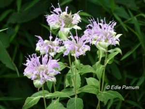 Wild Bergamot is an attractive summer-blooming perennial.   © Edie Parnum. Click to enlarge.