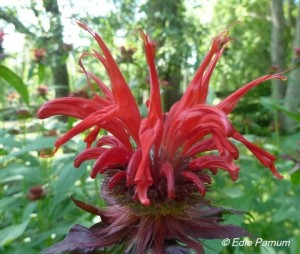 The closely related Scarlet Beebalm (Monarda didyma) attracts hummingbirds and other pollinators, too.  © Edie Parnum.  Click to enlarge.