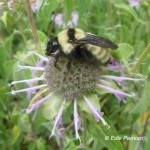 Bumblebees use nectar and pollen of Wild Bergamot.  © Edie Parnum.  Click to enlarge.