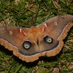Birches host Polyphemus Moth caterpillars.  © Barb Elliot.  Click to enlarge.
