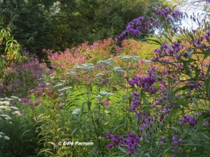 Edie's Meadow in late summer.  Flowers attract butterflies, moths, and other insect pollinators.  © Edie Parnum.  Click to enlarge.
