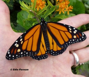 Monarch newly emerged and ready for release. Raised from eggs laid on Edie's Butterfly Milkweed.  © Edie Parnum.  Click to enlarge.