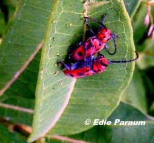 Red Milkweed Beetles eat plants in the milkweed family.  The beetles are protected by the milkweed's toxins and the black and red colors. © Edie Parnum.  click to enlarge.