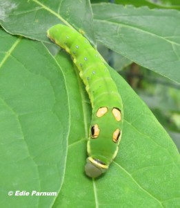 Spicebush Swallowtail caterpillar on Sassafras, one of its host plants.© Edie Parnum.  Click to enlarge.