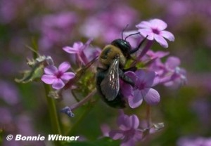 Bumble bee on Garden Phlox.  © Bonnie Witmer.  Click to enlarge.