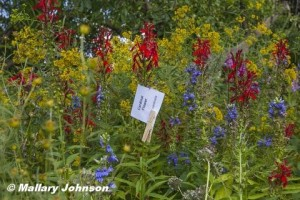 Cardinal Flower, Great Blue Lobelia, and Grass-leaved Goldenrod.  Photo © Mallary Johnson.  Click to enlarge.