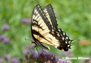 Eastern Tiger Swallowtail.  Photo © Bonnie Witmer.  Click to enlarge.