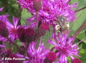Bee carrying the white pollen of Upland Ironweed.  Photo © Edie Parnum. Click to enlarge.