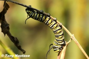 Monarch caterpillar © Tony Nastase.  Click to enlarge.