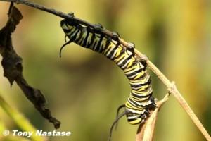 Monarch caterpillar © Tony Nastase.  Click to enlarge.