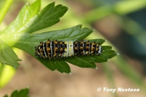 Early instar of Black Swallowtail caterpillar.  Photo © Tony Nastase.  Click to enlarge.