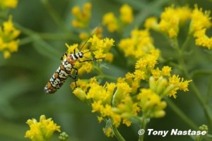 Ailanthus Webworm, a day-flying moth.  © Tony Nastase.  Click to enlarge.