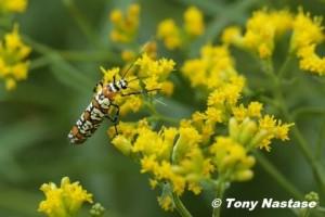 Ailanthus Webworm, a day-flying moth.  © Tony Nastase.  Click to enlarge.