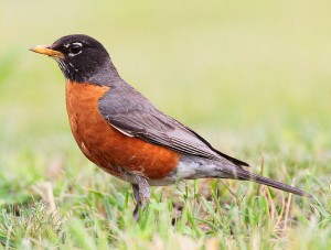 An Americn Robin always looks around for predators before probing for worms.  Wikimedia photo.