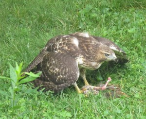 A Red-tailed Hawk eating its prey, a backyard squirrel.  Photo © Edie Parnum. Click to enlarge.