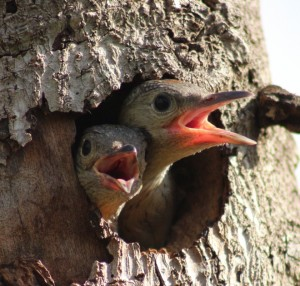 Two Red-bellied Woodpeckers waiting to be fed.  Photo © Holly Barrett 2015