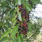 Many birds eat these Black Cherry fruits in late summer. Click to enlarge.