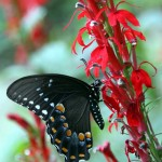 The Spicebush Swallowtail's long proboscis can reach the nectar, but the pollen remains untouched.  SCJack.blogspot.com photo.  Click to enlarge.