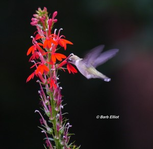 The Ruby-throated Himmingbird is the primary pollinator for Cardinal Flower.  It's long bill and tongue can reach the nectar deep inside the blossom.   It's head feathers pick up pollen from the anther.  Photo © Barb Elliot.   Click to enlarge.