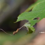 When the young caterpoillars emerge, the eat the cherr leaves.  © Barb Eliot.  Click to enlarge.