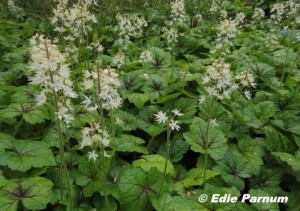 A bed of Foamflowers has pretty blossoms and handsome foliage. © Edie parnum.  Click to enlarge.