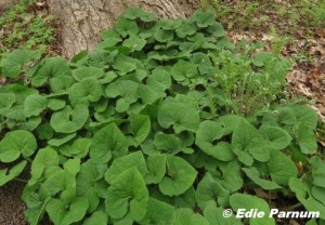 Wild Ginger's foliage is handsome and effectively thwarts emerging weeds. © Edie Parnum. Click to enlarge.