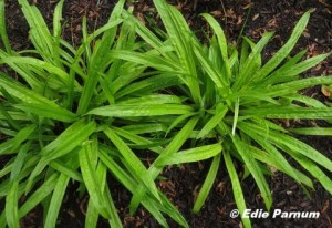 Cluster Seersucker Sedge plants for a handsome groundcover. © Edie Parnum. Click to enlarge.