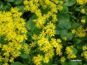 Golden Ragwort has spectacular yellow flowers. The dense foliage is attractive during summer and fall. © Barb Elliot. Click to enlarge.